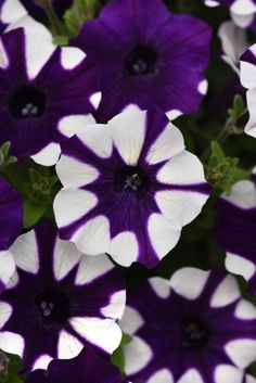 You've never seen a petunia like this! Each Shock Wave plant is blanketed with petite, high-impact flowers for your garden bed, planter, or hanging basket. These excellent outdoor performers offer season-long color that the Wave family varieties are known for. Purple Tie Dye was named by our Facebook fans and is perfect for creating unique, photo-worthy gardens! Petunia Flower, Easy Waves, Shock Wave, Unique Photo, Hanging Baskets, Petunias, Garden Beds, Butterflies, Tie Dye