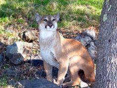 Missouri Mountain Lions: Invasive Species or Wildlife?   Big Game Hunt