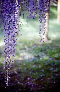My dream garden would be flowing with Wisteria! Purple Flowers, Beautiful Flowers, Purple Wisteria, Beautiful Beautiful, Wisteria Garden, Colorful Roses, Lavender Flowers, Wisteria Tree, Cottage In The Woods