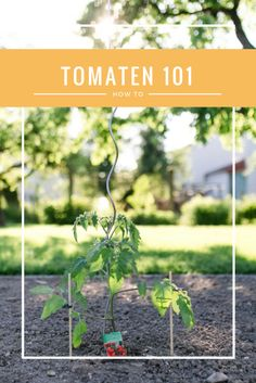 Tomaten im eigenen Garten ziehen  - ein kleines How-To  Grow your own Tomatoes - a little how-to Plants, Boyfriend Food, Tomatoes, Lawn And Garden, Plant, Planets