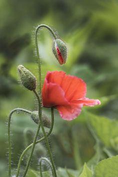 Every which way ~ von Connie Etter - Blumen Garten Plante Crayon, Wild Flowers, Beautiful Flowers, Flora Und Fauna, Deco Floral, Garden Soil, Garden Supplies, Red Poppies, Horticulture