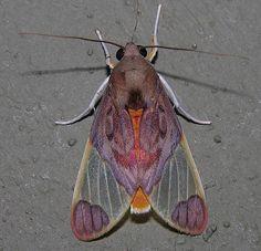 Moths of southern Venezuela, via Flickr.