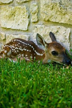 How CUTE is this Baby Fawn?