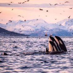 The world holds incredible beauty! Go live in it! Spyhopping Orcas by – All Pictures Amor Animal, Mundo Animal, Orcas, Destination Voyage, Ocean Creatures, Killer Whales, Nature Animals, Animals Sea, Fauna