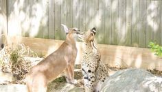 Caracal loving on a Serval Cat Serval Cats, Caracal, Giraffe, Pets, Animals, Felt Giraffe, Animales, Animaux, Giraffes