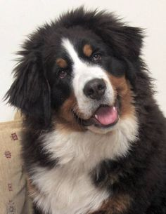 Bernese Mountain Dog, i WILL have one of these! Bernese Mountain Puppy, Bernese Dog, Mountain Dogs, Fox In Snow, Huge Dogs, Cute Animals, Animals Dog, Wild Animals, Stuffed Animals