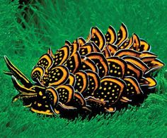 """This is Oswald! He is my new pet sea slug walking on my comfy backyard. Super cute. His species is the Cyerce Nigricans (""""Gold Sap-Sucking Slug"""") and he is 2 years old!!!! What a cutey!"""