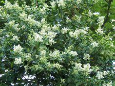 Ligustrum ovalifolium     Troène de Californie