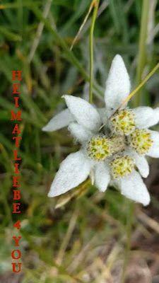 HEIMATLIEBE 4 YOU: Heim@Erde - Königin der Alpenblumen