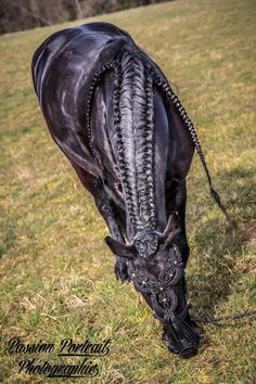 Friesian Horse. Their thick hair makes the perfect base for many beautiful braids!