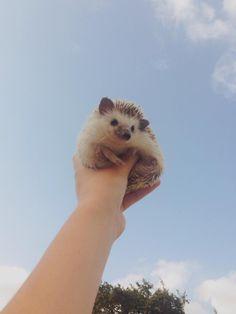 Nala the Hedgehog ( Pretty Animals, Super Cute Animals, Like Animals, Fluffy Animals, Cute Little Animals, Cute Funny Animals, Animals Beautiful, Animals And Pets, Cute Dogs