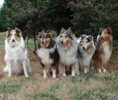Adorable collies ready to greet owner when she arrives!