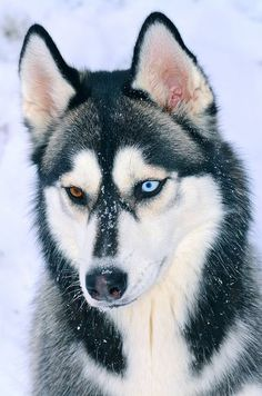 "Siberian Husky Portrait by aveh587 on Flickr. ""Onyx sure does love the snow."""