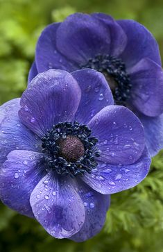 ~~Anemones by Cindy Dyer~~