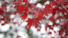 tree maple red hd free download wallpapers
