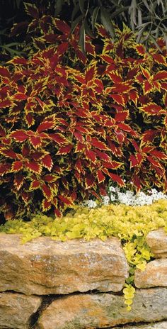 ColorBlaze Apple Brandy Coleus is new this spring, and has won many awards at university trials across the country. Count on this to grow close to 3 feet tall, and colors stay strong in sun OR shade!