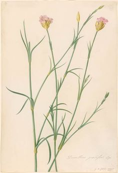 Georg Dionysius Ehret | Dianthus prolifer (a species of Pink) | Drawings Online | The Morgan Library & Museum