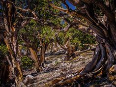 Old bristlecone pine trees surround the  Mount Charleston Wilderness Area in Nevada.