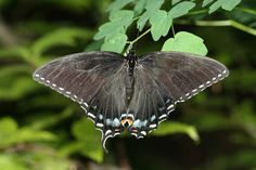 The black female form of the Appalachian tiger swallowtail has the wing pattern of the pipevine swallowtail to evade predators. <br />