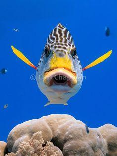 http://cdn.c.photoshelter.com/img-get2/I0000jCt8Zfw30b0/fit=1000x750/1182D-diagonal-banded-sweetlips-fish-plectorhinchus-lineatus.jpg