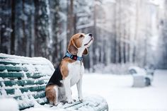 Beagle. By Averianova Anna.