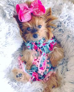 """302 Likes, 20 Comments - ⠀♡ TIᗩ ᗰOᑕᕼI & ᗰIᒪᗩ ♡ (@3yorkiesinvegas) on Instagram: """"Don't be afraid to sparkle✨ #livelovesparkle # . . . . . . #bow #dogbows #yorkie #yorkshireterrier…"""""""