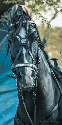 Marwari horse - Marwari / Malani and Kathiawari horse favs - Horse All The Pretty Horses, Beautiful Horses, Dun Horse, Horse Tack, Marwari Horses, Riding Stables, Rare Horses, Akhal Teke, Horse Gear