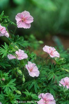 Hardy geranium sanguineum v. striatum, summer flowering perennial. Low growing variety.