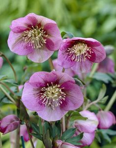 Helleborus × hybridus 'Pink Lady' - Perfectly suited to the woodland floor, where it will offer seasonal diversity when used in conjunction with hostas and ferns, the pendent or outward-facing flowers of this hybrid Lenten rose are a very pretty shade of pink.