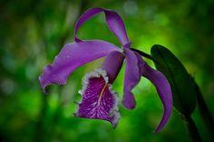Orquídea, Moyobamba, San Martín (Perú)