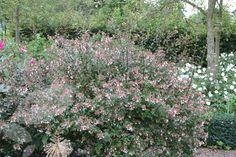 Buy abelia Abelia × grandiflora: Delivery by Crocus