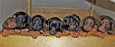 AKC Doberman Pinscher Puppies, black and rust and red and rust  7 weeks old (865) 654-2486 Beautiful akc doberman pinscher puppies tails docked dewclaws removed, deworned, 1st set of shots, vet checked. $800. +&Nbsp; for more info cal