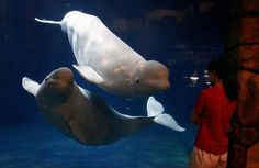 """A keeper checks on two beluga whales as they swim in their enclosure at the Beijing Aquarium June 21, 2012. The aquarium is the largest in China, and promoted as """"the world's largest inland aquarium"""", with more than 1,000 marine species and freshwater fish on display."""