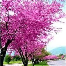 Erguvan Ağacları