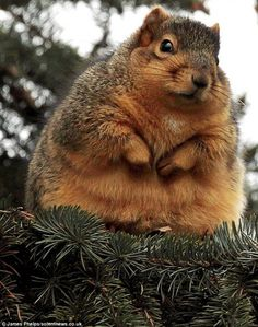 Its ironic. While most of us try our best to loose some weight before the Holidays, animals, like the squirrel can pack on the pounds before that long winter nap of theirs.
