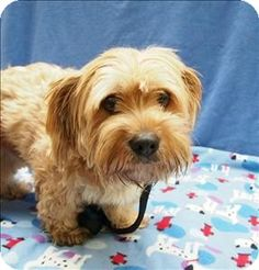 I'm being cared for by: Oregon Humane Society   Help me get seen & adopted!      Facts about Avery  Breed: Havanese Mix Color: Unknown Age: Adult Size: Small 25 lbs (11 kg) or less Sex: Male ID#: 163453
