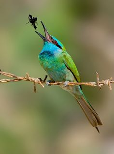 stir-fried ... (Little Green Bee-eater.) © yaki zander