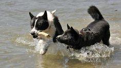 Karelian Bear Dog is a very versatile dog. Bear, Health, Dogs, Animals, Animais, Salud, Animales, Animaux, Doggies