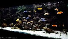 placidochromis jalo reef - Google Search
