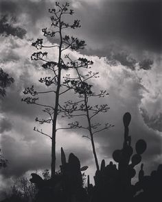 Agave flower stalks against the sky #agave #succulent #sky #blackandwhite #nature #beautiful #silhouette #outdoors #garden #gardenersnotebook #plants