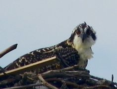 Baby Osprey @ Island Beach State Park, NJ
