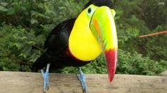 2560x1440 Picture for Desktop: toucan