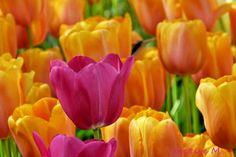 RT Marja Broersma beetje kleur #tulpen #tulip Keukenhof Tulips in Holland