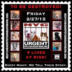 TO BE DESTROYED: 9 beautiful dogs to be euthanized by NYC ACC- FRI 02/27/15. This is a VERY HIGH KILL shelter group. YOU may be the only hope for these pups! ****PLEASE SHARE EVERYWHERE!To rescue a Death Row Dog, Please read this: http://urgentpetsondeathrow.org/must-read/  To view the full album, please click here:  https://www.facebook.com/media/set/?set=a.611290788883804.1073741851.152876678058553&type=3
