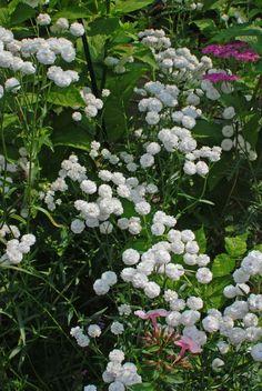 """""""Eine weiße Schnittblume, die ohne besondere Kultur ununterbrochen, ja ununterbrochen, vom Mai bis zum Winter blüht und fast zu jeder be..."""