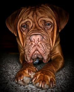 Dogue De Bordeaux- amazing photo!