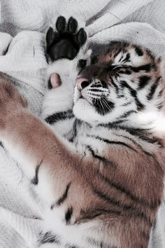Sweet baby tiger with his comfy blanky ♡♡♡ Cute Baby Animals, Animals And Pets, Funny Animals, Wild Animals, Beautiful Cats, Animals Beautiful, Tier Fotos, Cute Creatures, Cats And Kittens