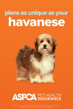Every breed has different health needs. ASPCA Pet Health Insurance plans were designed with the needs of Havanese in mind. Return to your quote today to view customized plan options for your pet. Health Insurance Plans, Pet Insurance, Health Care Coverage, Havanese, Dog Cat, Quote, How To Plan, Pets, Fun