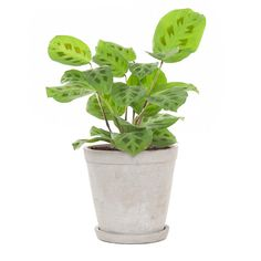 Green lifestyle store Maranta Kerchoveana incl. soft grey pot Lifestyle Store, Cactus Plants, Photoshop, Herbs, Om, Products, Plants, Seeds, Everything