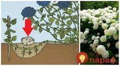 Potom by ste mali vedieť toto! Trees To Plant, Hydrangea, Gardening, Seeds, Outdoors, Gardens, Naturaleza, Butterflies, Plants